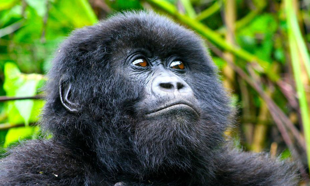 4 Days Lowland Gorilla Tracking in Kahuzi Biega