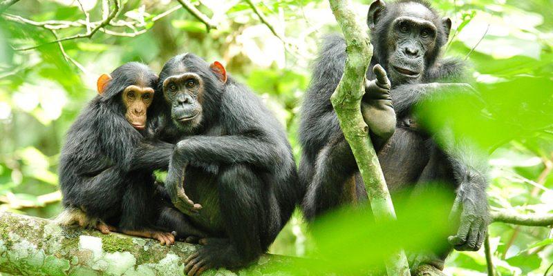 LakeSide_0011_Chimpanzees_in_Uganda_(5984913059)