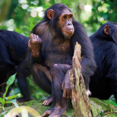3 Days Chimpanzee Tracking Safari Rwanda