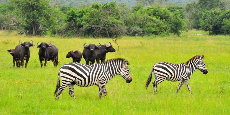Uganda_0004_Mburo-zebra-and-buffalo-1