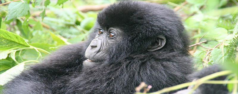 12 Days Rwanda Uganda Classic Safari