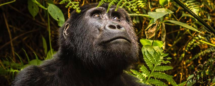 5 Days Queen Elizabeth and Gorilla Trekking Tour