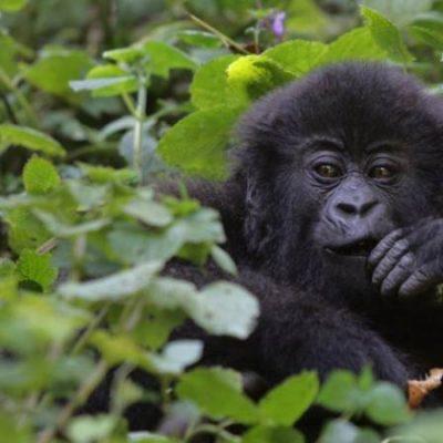 4 Days Rwanda Gorilla Safari and Diane Fossey
