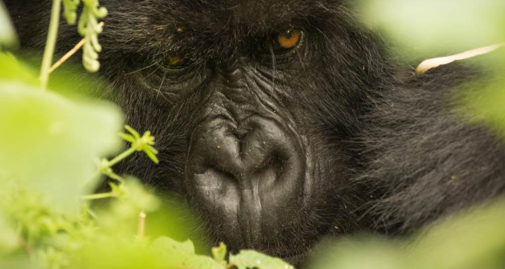 1 Day Gorilla Safari Rwanda