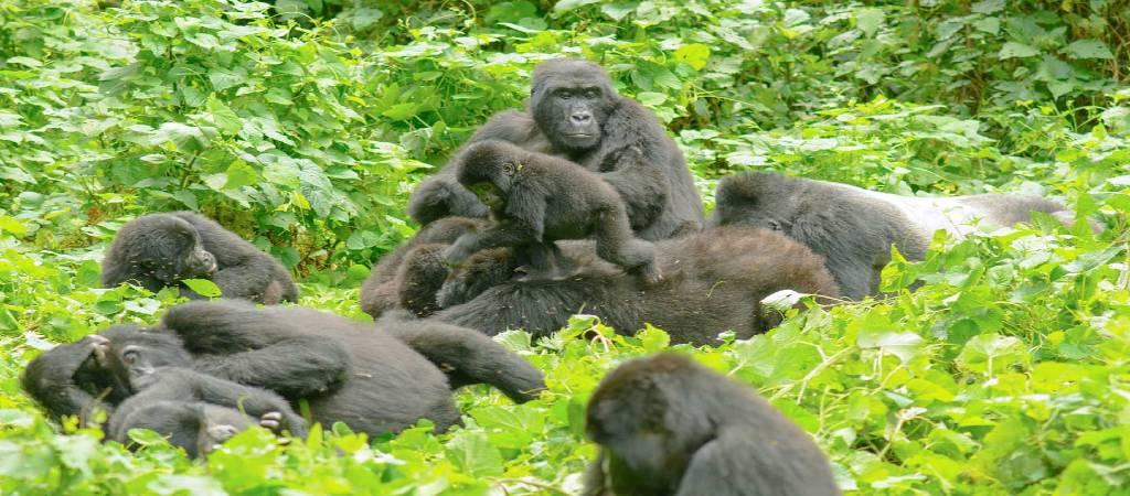 gorilla-family-cp