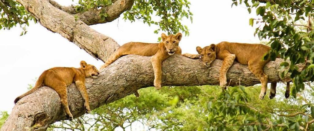 lions-cp1